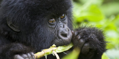 Trek Mountain Gorillas in Volcanoes NP