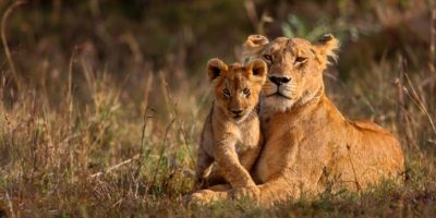lioness-with-cub-sunset-Masai-Mara _Realm Africa Safaris